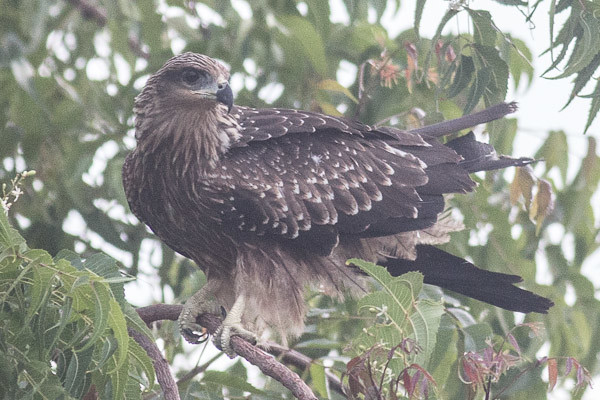 immature Black Kite