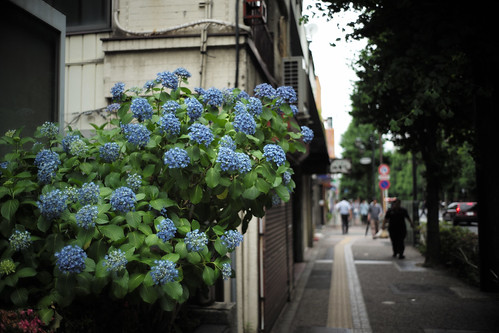 Hydrangea and road