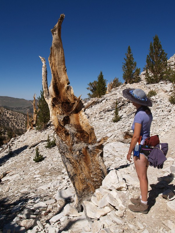 Cool-looking dead Bristlecone Pine stump at the Patriarch Grove