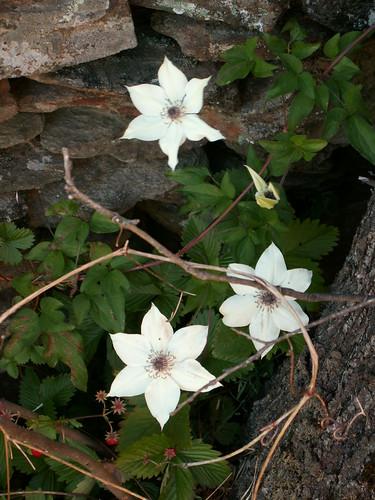 ces quelques fleurs de nos jardins - Page 3 35208891682_5dbd68acd9