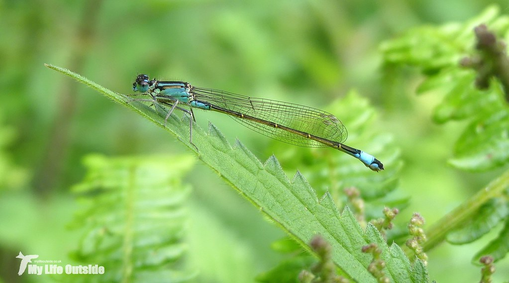 P1080666 - Blue-tailed Damselfly