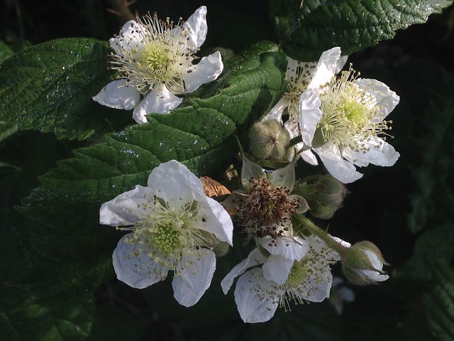 Tendrils: Blackberry/bramble flowers