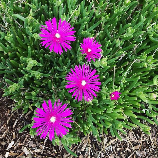 Love these shiny neon flowers in my neighbor's yard. 💖