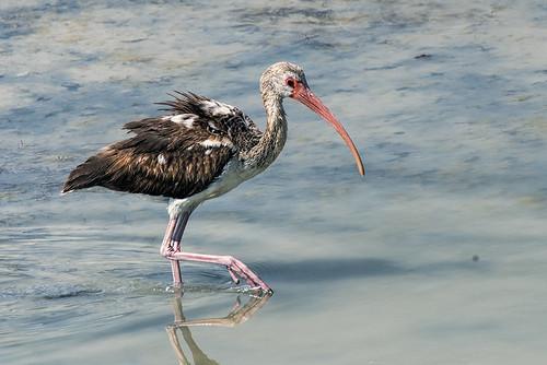 Las Salinas, Cuba: Juvenile White Ibis