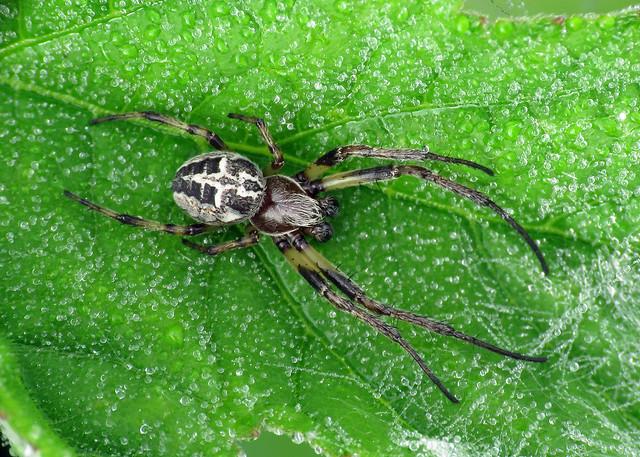 Larinioides cornutus