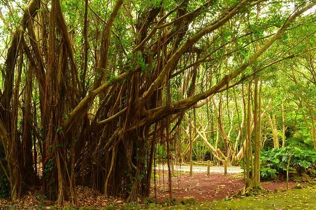 八丈島・八丈植物公園 枝が垂れ下がる大木