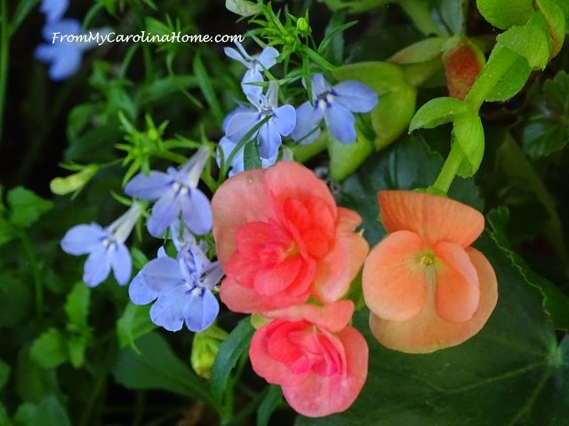 Peach begonia with lobelia