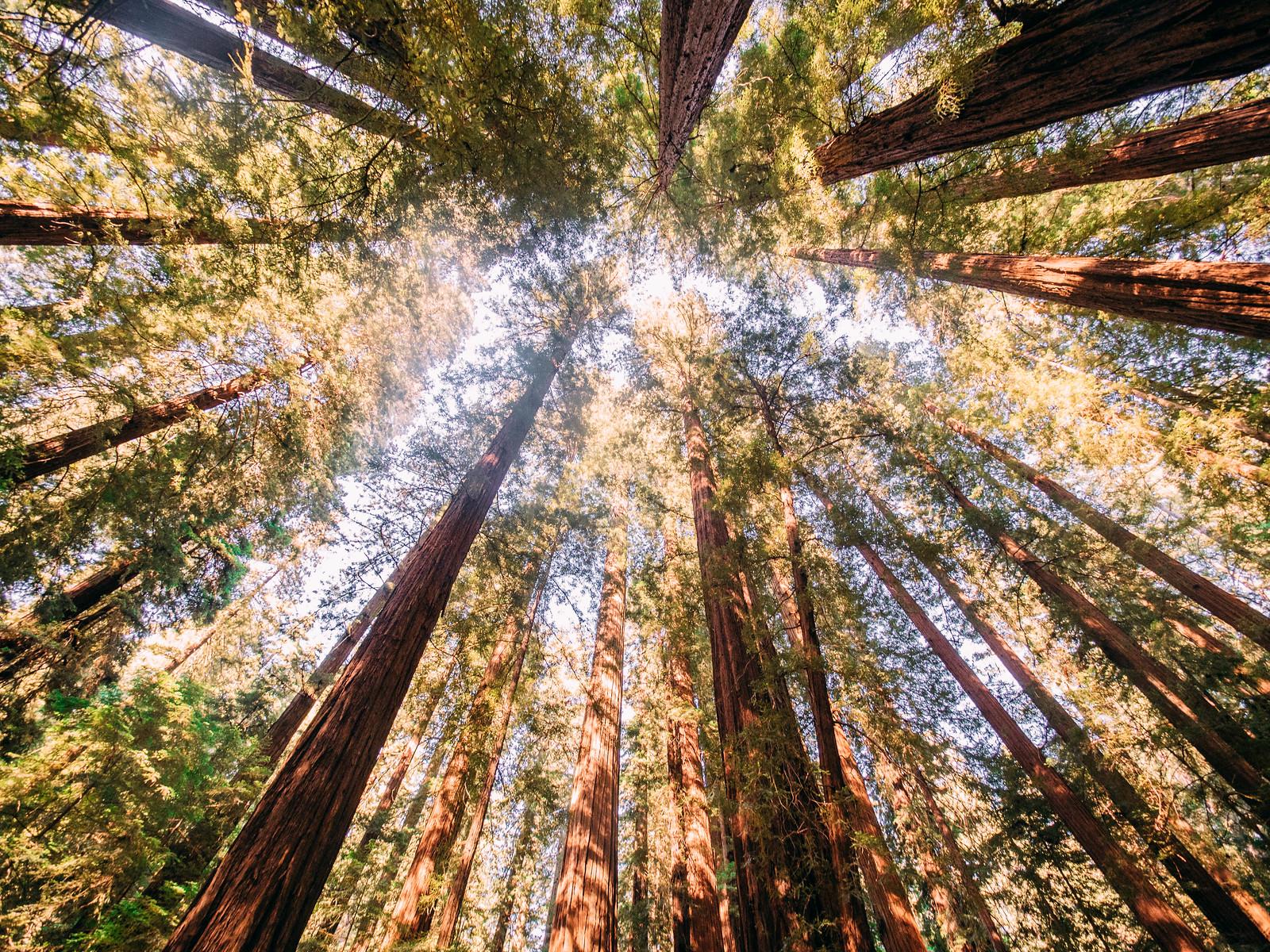 Redwoods-17