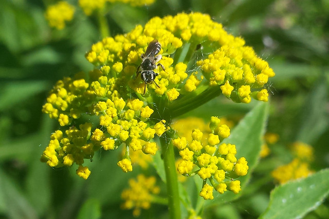 small black bee facing down on Golden Alexanders