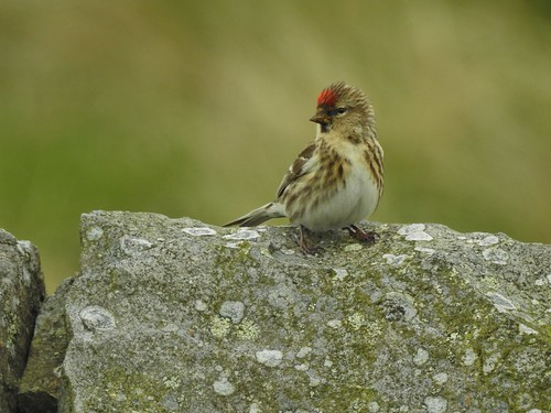 Redpoll at Clowbridge Reservoir in Lancashire, England - May 2017