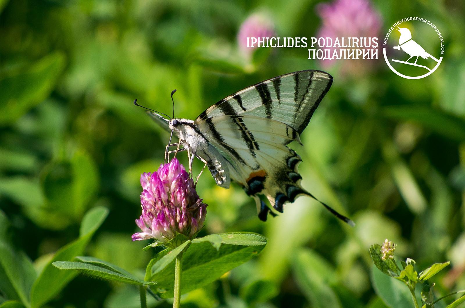 Iphiclides podalirius // 20170530