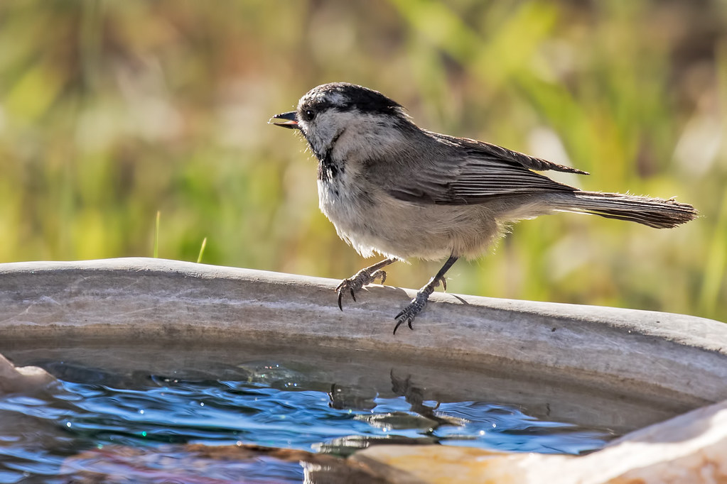 Mountain-Chickadee-5-7D2-061617