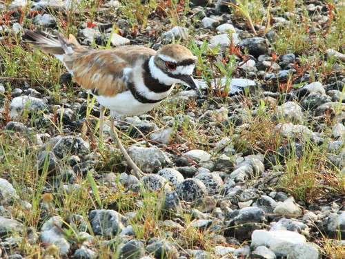 Killdeer at nest 01-20170617