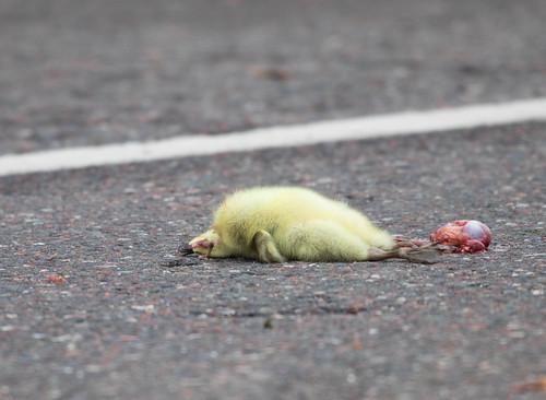Dead baby Canada Goose