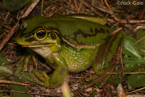 Green and golden bell frog (Litoria aurea) | by Nick Gale