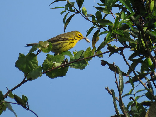 Prairie Warbler | by Powered By Birds