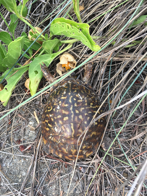 Ornate Box Turtle (Terrapene ornata) - 1
