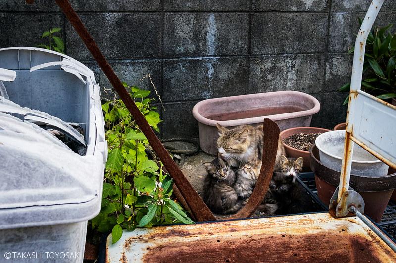 Tokushima Cat Color #261