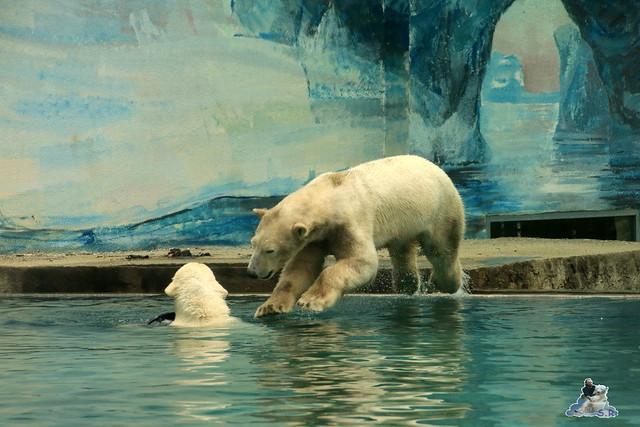 Eisbär Fiete im Zoo Sosto 30.05.2017 104