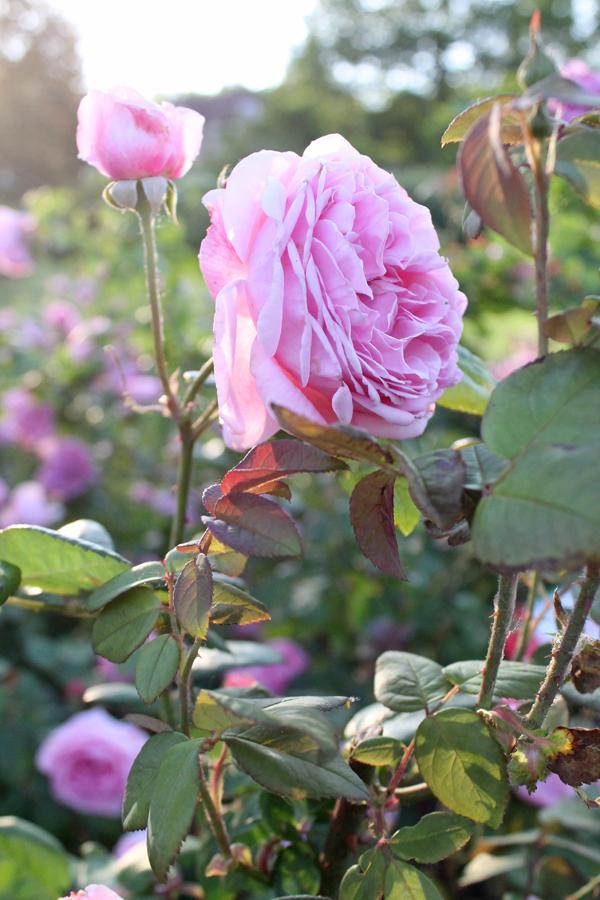 roses rochester ny