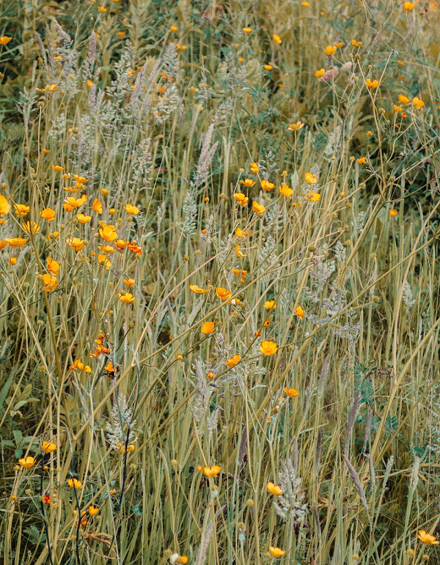 buttercups in long grasses