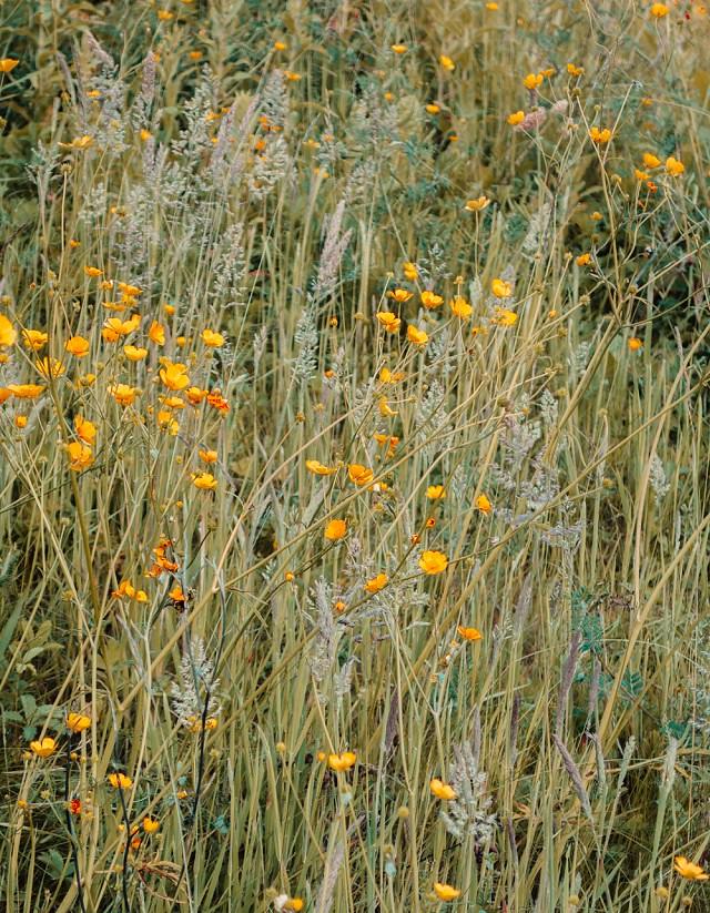 buttercups in long grasses