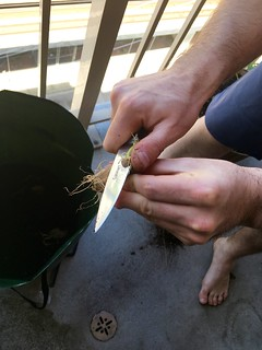 Cutting the potato seed before planting