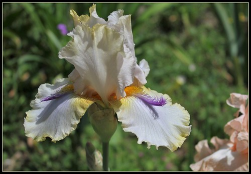 Iris 'Chamois d'Or' - Luc Bourdillon 2004 34726513500_4822567243