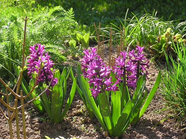 Hyacinthus orientalis 'Miss Saigon'