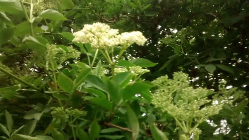 elderflower May 17 2