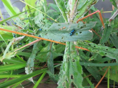 blue beetle orgy