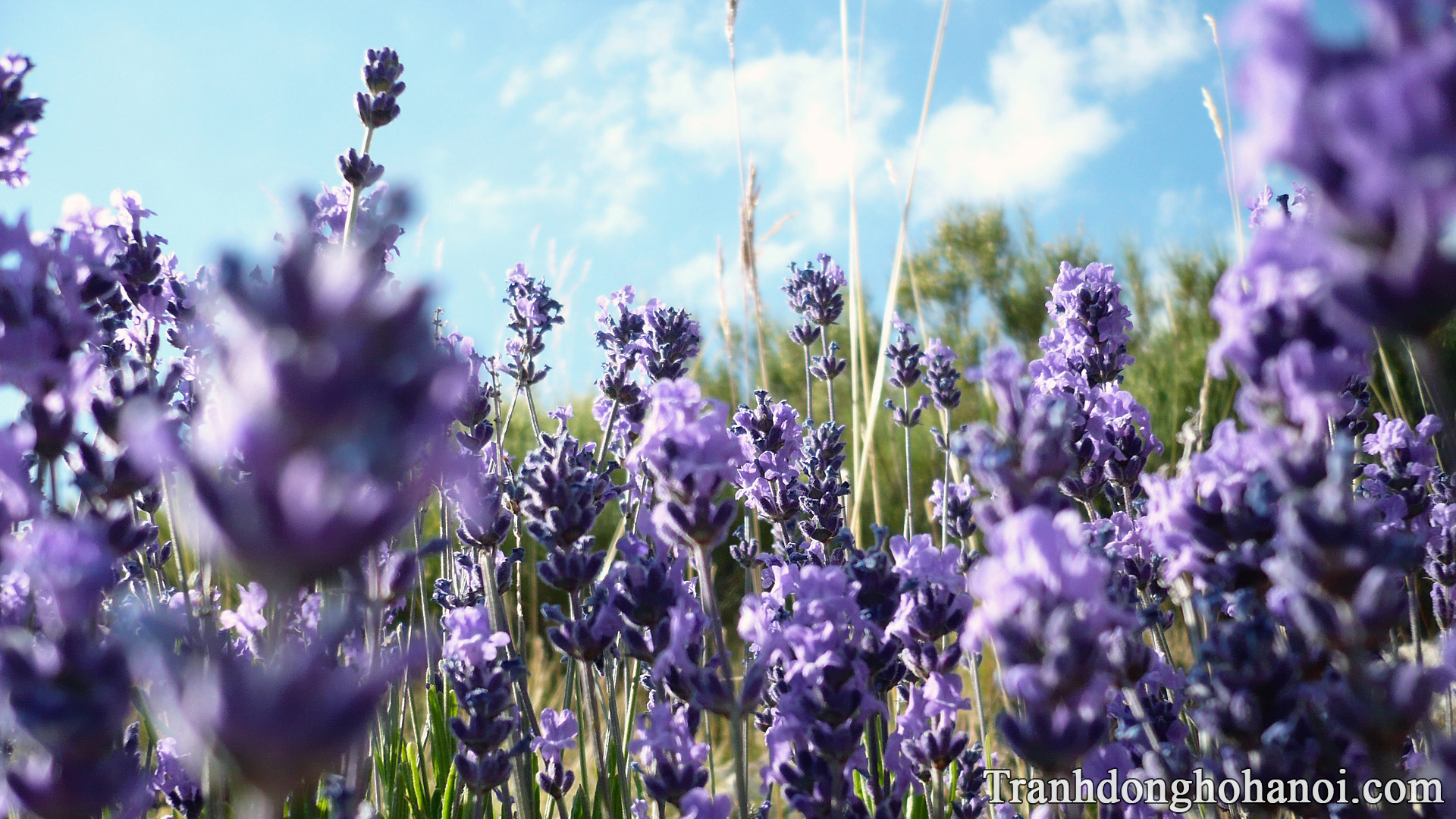 Lavender flower hd wallpaper AmiA