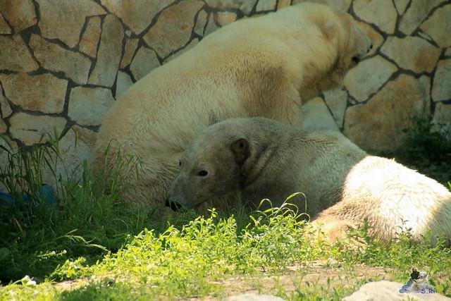 Eisbär Fiete im Sosto Zoo 28.05.2017 116