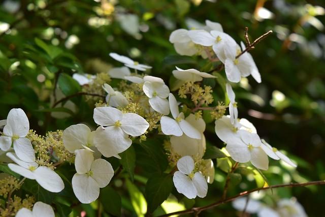 開聞岳に咲いていたコガクウツギ