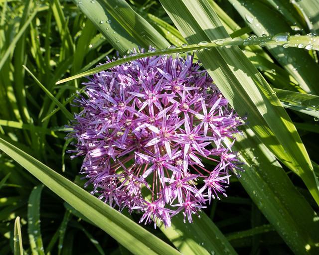 Milkweed (?) flower