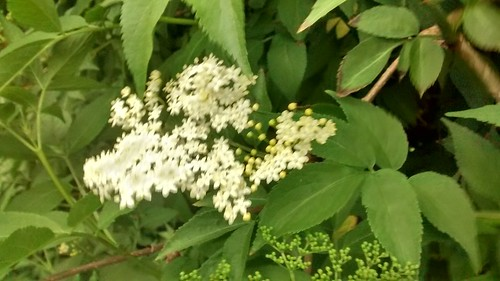 elderflower May 17 1