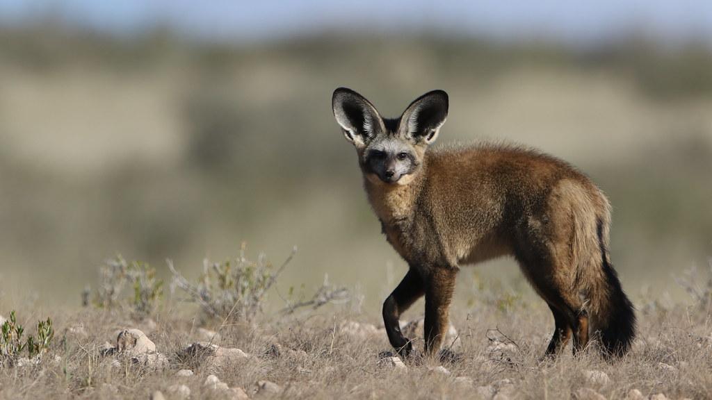 Bat-eared fox, Otocyon megalotis, at Kgalagadi Transfronti… | Flickr