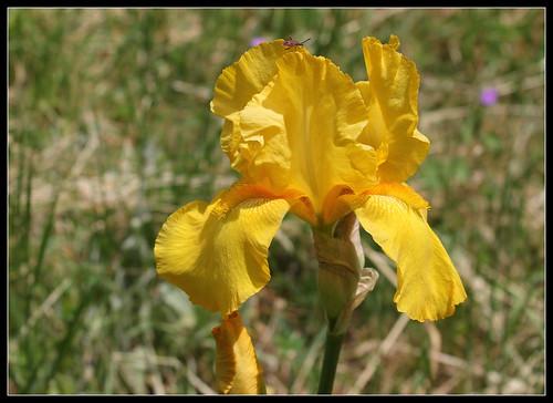 Iris 'Zantha' - O. Fay 1947 34201644844_293892ca8a