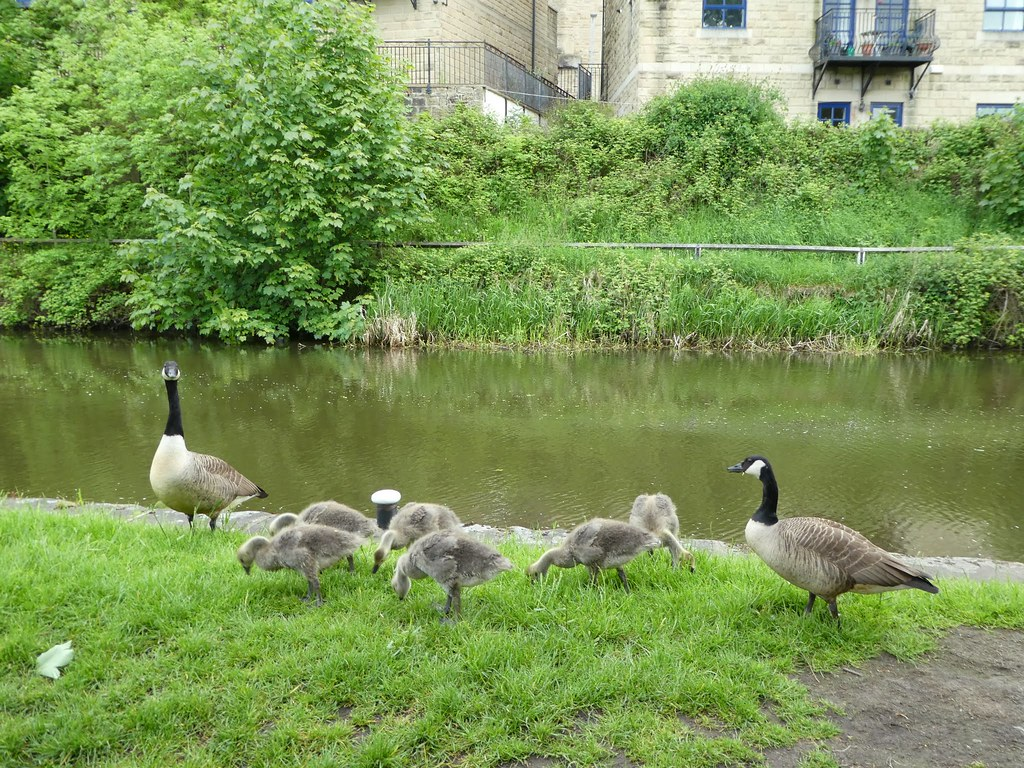 Geese, Bingley Five Rise Locks