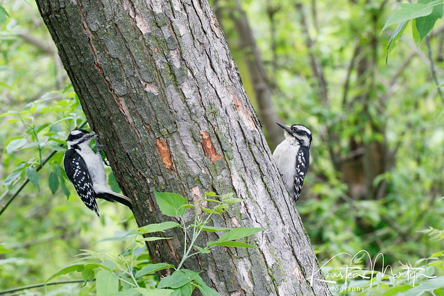 Hairy Woodpecker (Leuconotopicus villosus)- Female Fledgling