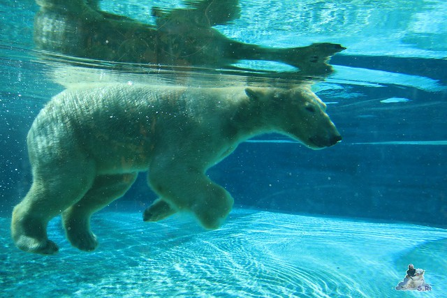 Eisbär Fiete im Sosto Zoo 28.05.2017 008