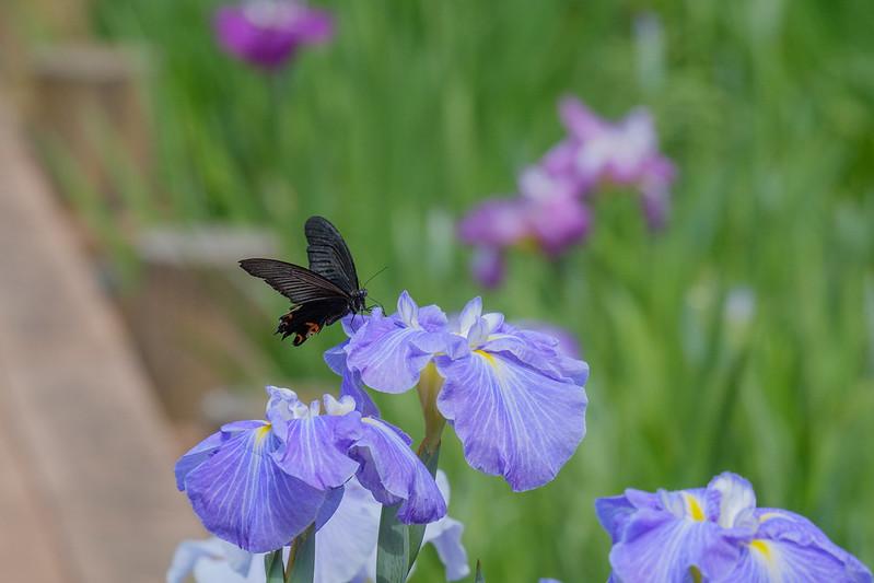 クロアゲハ Papilio protenor