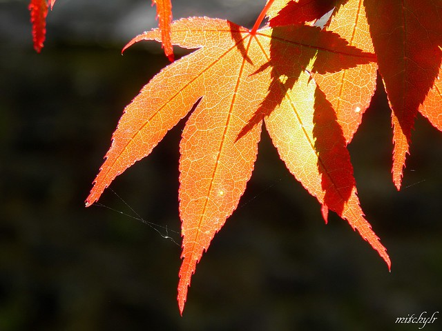 Japanese Red Maple 1