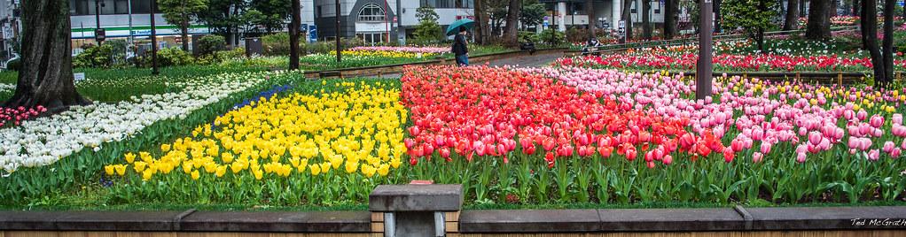 2017 yokohama garden necklace tulip beds by teds photos for me - Tulip Garden Near Me