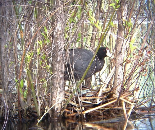American Coot on a nest, Ladd Marsh, La Grande, OR