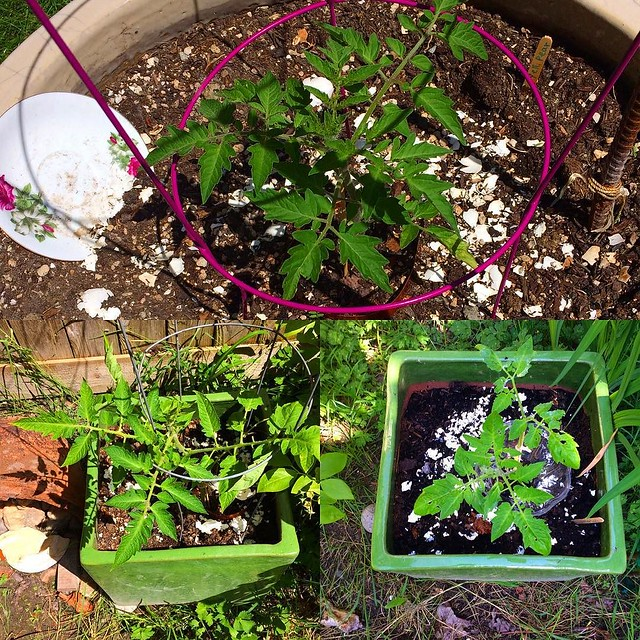 Our three tomato plants.