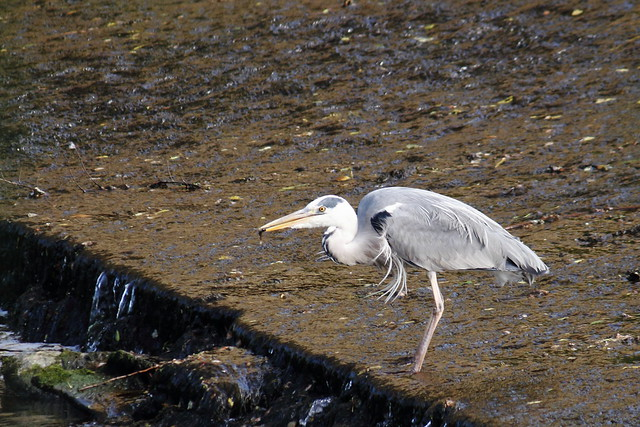 Heron catching small