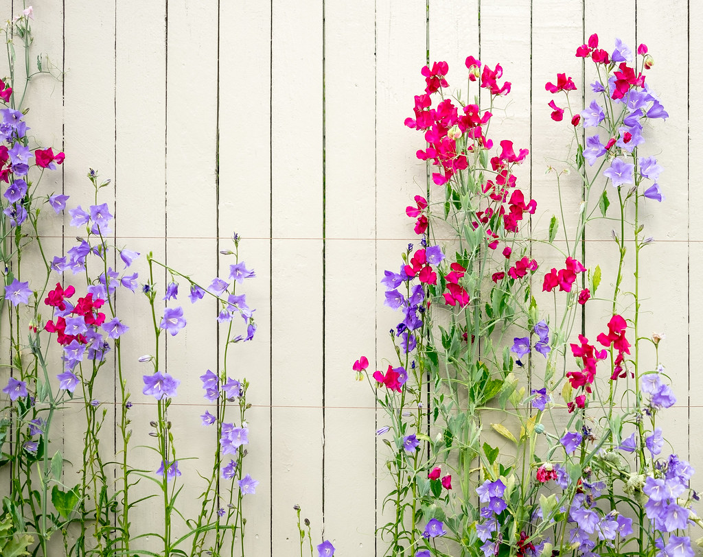 Fence And Flowers Spring In A Seattle Neighborhood Jeff Carlson