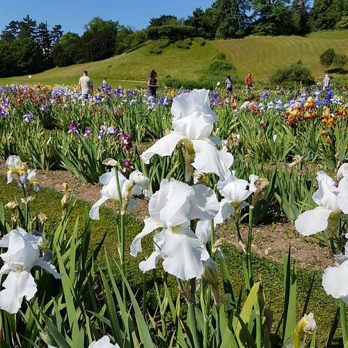 Irisblüte 20170528_105001