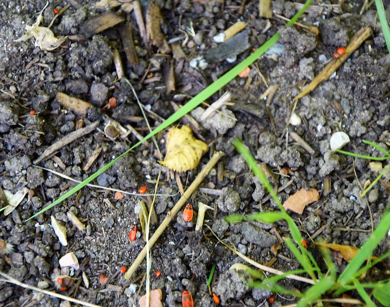 Firebug nymphs 29.05 (4)